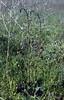 Verbascum phoeniceum (syn. Celsia rechingeri)(near the Hayfields of Kis es Nagy Szenas)