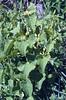 Aristolochia clematidis