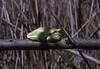 Hyla arborea, Common tree frog,(NL: boomkikker) (Hortobagy National Park)