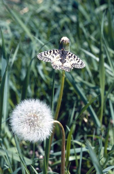 Zerynthia polyxena, Aristolochia swallowtail (NL: pijpbloempage)(Hortobagy National Park)