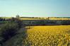 Brassica napus, Cabbage fields, (NL: koolzaad velden) (near Kekesteto hill)