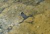 Bombina bombina, Fire-bellied toad, (NL: roodbuikvuurpad) (Nature Area Lovaszheteny in Kelet-Mescek)