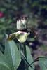 Paeonia officinalis ssp. banatica