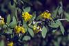moths on Berberis,  NL: langsprietmot (Jeli Arboretum)