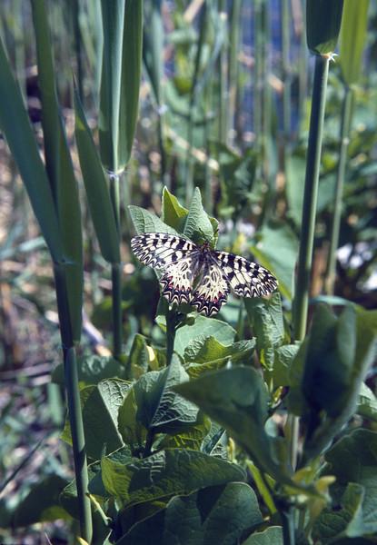 Zerynthia polyxenaon on Aristolochia clematidis, Aristolochia swallowtail (Hortobagy National Park)