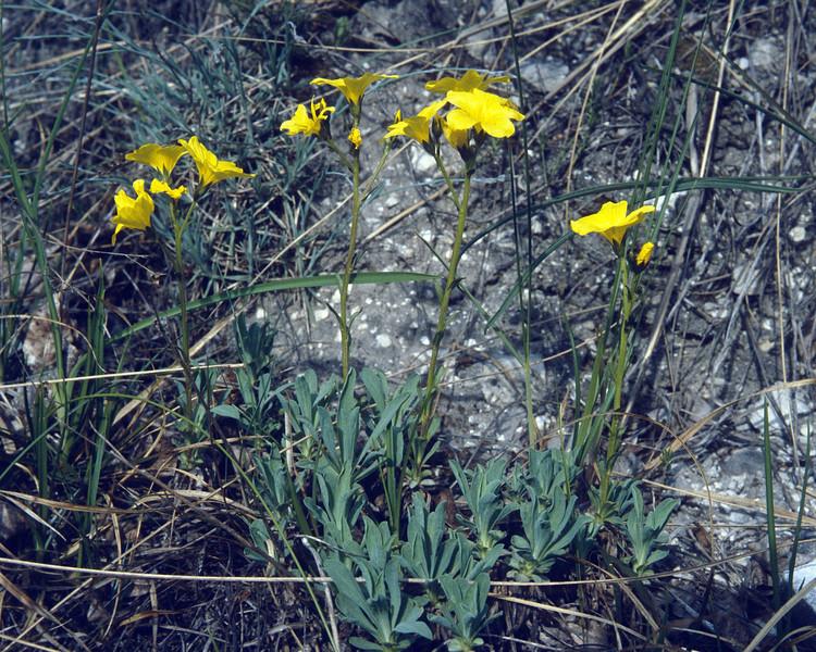 Linum dolomiticum (Hayfields if Kis es Nagy Szenas)