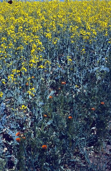 Brassica napus and Adonis aestivalis (near Kekesteto hill)