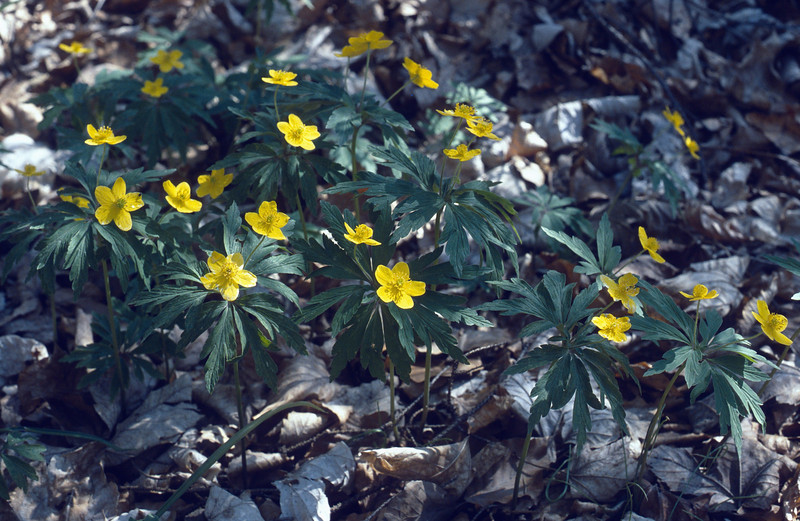 Anemone ranunculoides (near the highest hill in Hungary, Kekesteto)