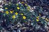 Anemone ranunculoides (near the highest hill in Hungary, Kekesteto)