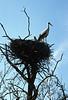 Ciconia ciconia, White Stork, (NL: Ooievaar) (Hortobagy)