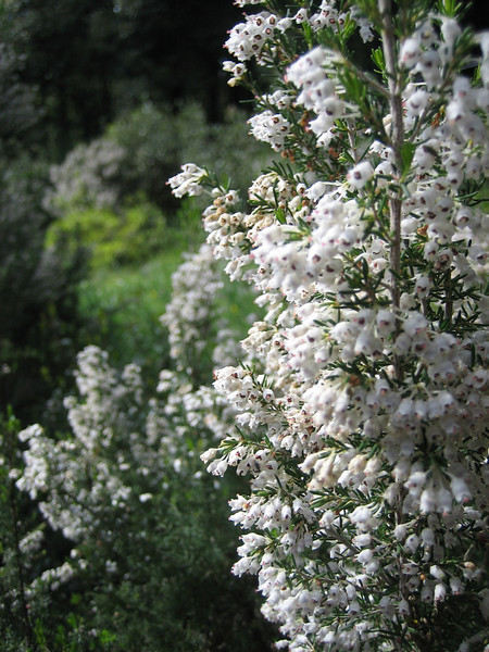 Erica arborea (boomheide)