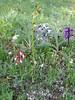 Orchis habitat (Gargano)