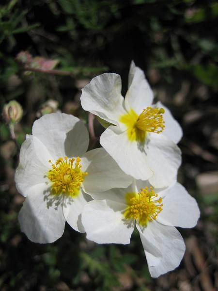 Cistus monspeliensis (NL: smalbladig cistusroosje)or Cistus cfr. salvifolius ((I don't see the leafs)