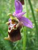 Ophrys fuciflora subsp. apulica