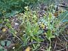 Ophrys bombyliflora (NL: weidehommelophrys)