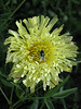 Urospermum dalechampii (close up flower)