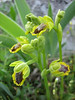 Ophrys phryganae