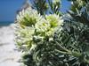 Anthyllis barba-jovis (NL: jupitersbaard)