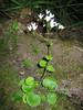 Saxifraga rotundifolia (rondbladige steenbreek)