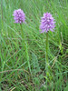Orchis italica (NL: Italiaanse orchis)