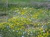 Linum austriacum subsp. tommasinii (NL: tweejarig vlas)