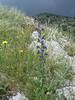 habitat of Echium vulgare (NL: slangekruid)