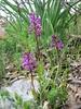 habitat of Orchis quadripunctata (NL: vierpuntjesorchis)