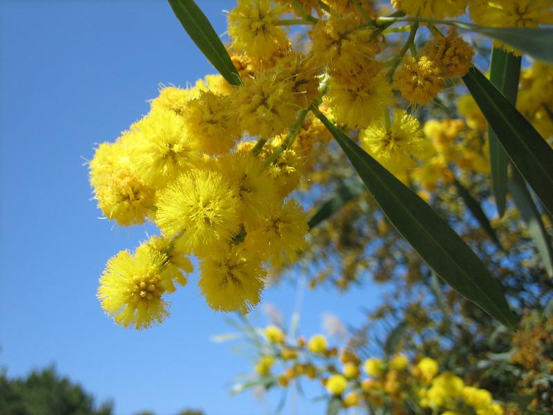 Acacia retinoides (NL: netmimosa)