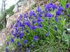 Viola aethnensis