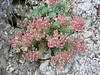 Euphorbia myrsinites (NL: wolfsmelk)