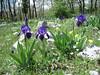 habitat of Iris bicapitata (NL: lis)