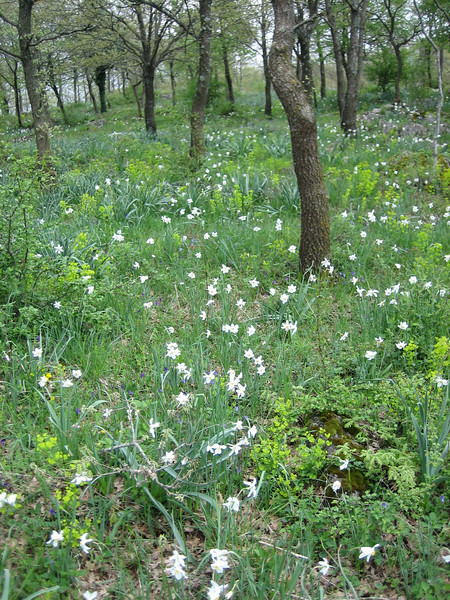 Habitat of Narcissus poeticus