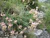 Coronilla varia (NL: bont kroonkruid)