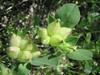 Anthyllis tetraphylla (NL: blaaswondklaver)