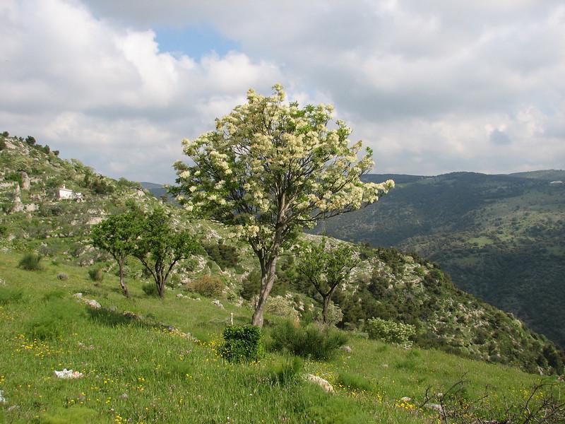 Landscape Parco Nazionale del Gargano (Fraxinus ornus, NL: pluim-of bloem-es)