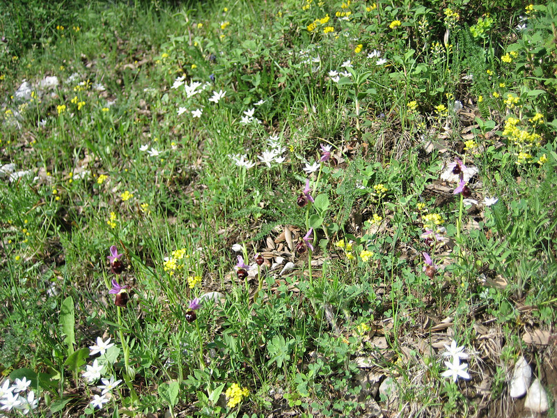 Ophrys habitat with Ophrys biscutella