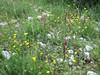 Serapias orientalis subs. apulica