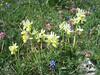 Orchis pauciflora (NL: gele karstorchis)