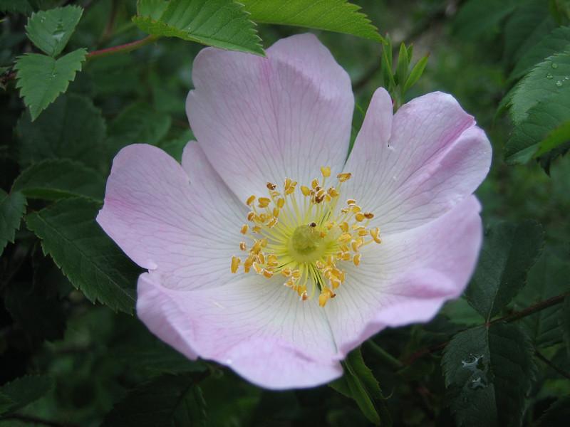 Rosa glutinosa