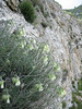 habitat of Onosma echioides