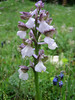 Orchis morio (NL: harlekijntje)