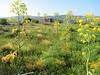 habitat with Ferula communis (NL: tonderkervel)
