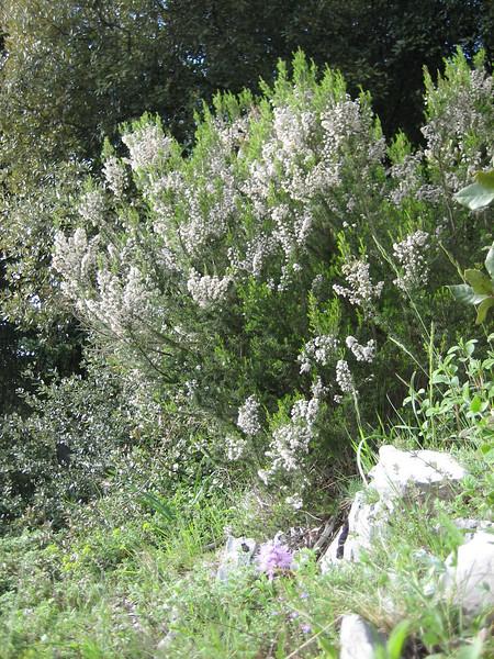 habitat of Erica arborea (boomheide)