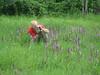 Orchis purpurea (photograph Marijn)