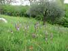 habitat of Orchis purpurea (NL: bruine orchis)