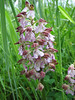 Orchis purpurea (light coloured form)
