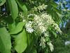flowers of Fraxinus ornus (NL: pluim-of bloem-es)