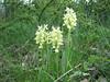 shady habitat of Orchis pallens