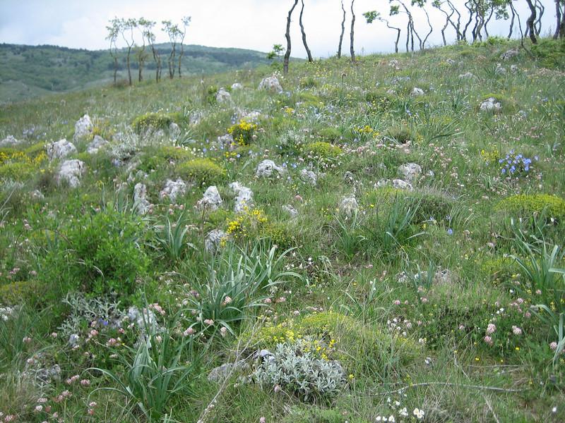 Linum austriacum subsp. tommasinii (bi-annual)