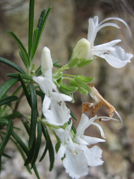 Teucricum fruticans (white coloured form)